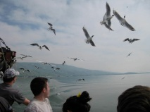 I spent two weeks in Israel in 2009. This is on a boat ride across the Sea of Galilee. The boat crew began tossing bread and the gulls went into a frenzy, trying to catch it before it hit the water.